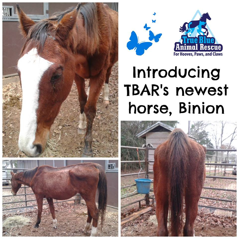 Binion-TBAR-Horse-Adoptable