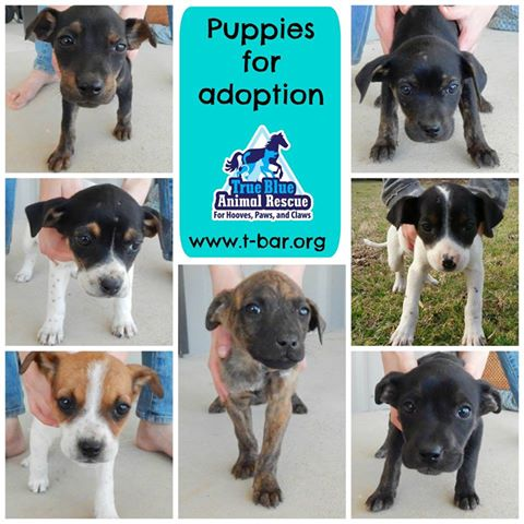 TBAR-Puppies-for-Adoption