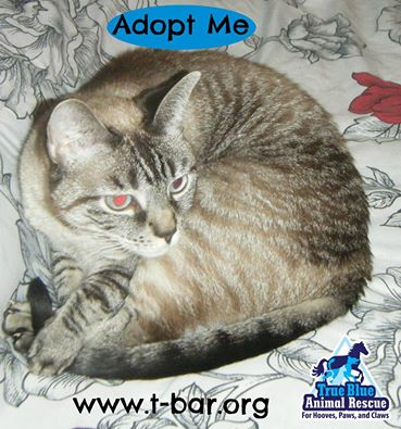 TBAR-Cat-Adoptable-Vanilla-Latte