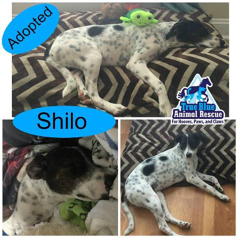 TBAR-Adopted-Dog-Shilo